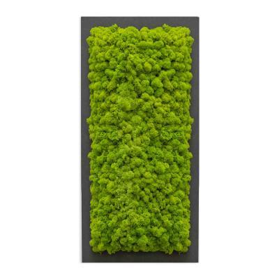 Moosbild mit Islandmoos - 57 x 27 cm - Holzfaserplatte anthrazit