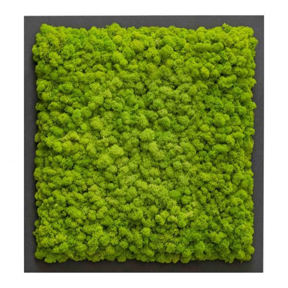 Moosbild mit Islandmoos - 35 x 35 cm